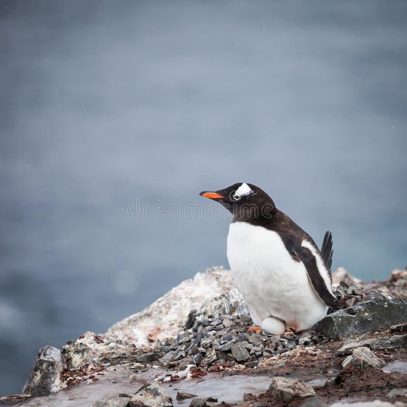 Pinguïn en ei stock afbeeldingen