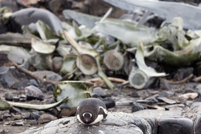 Pinguïn en walvisbeenderen stock afbeeldingen