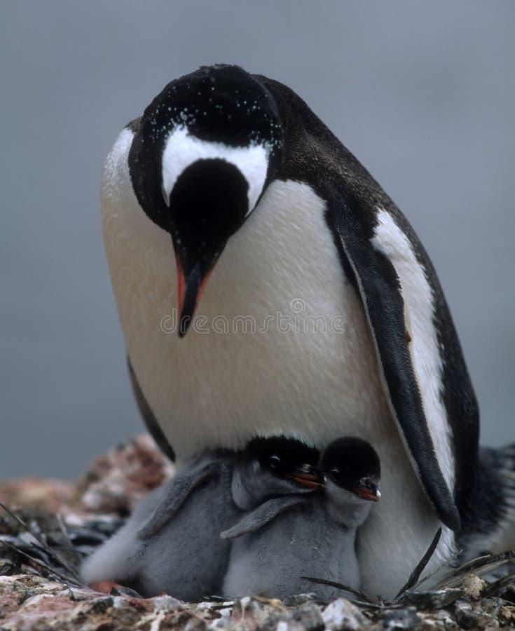 Pinguïn mam met twee kuikens stock foto