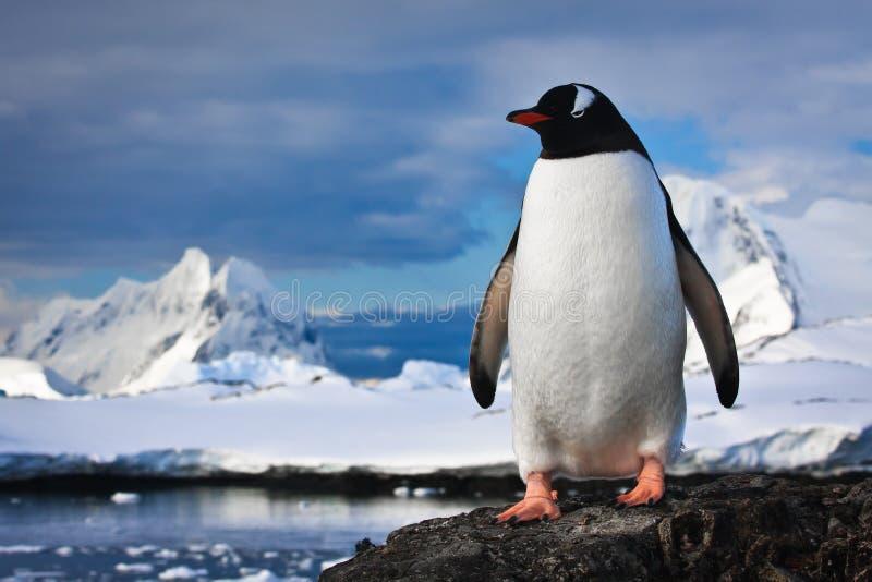 Pinguïn op de rotsen royalty-vrije stock afbeeldingen