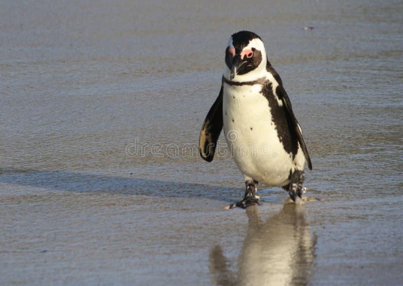 Pinguïn op het strand royalty-vrije stock afbeeldingen