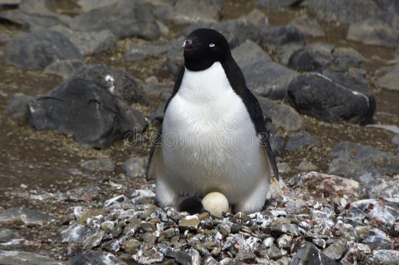 Pinguïnen in Antarctica stock foto's