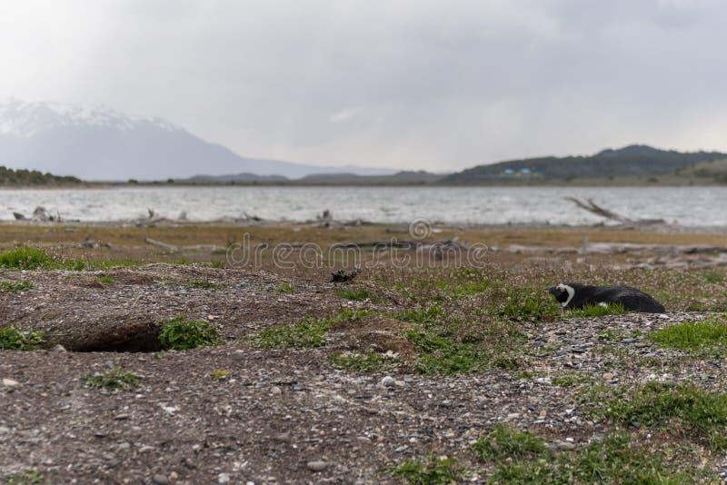 Pinguïnen in Argentinië royalty-vrije stock afbeelding