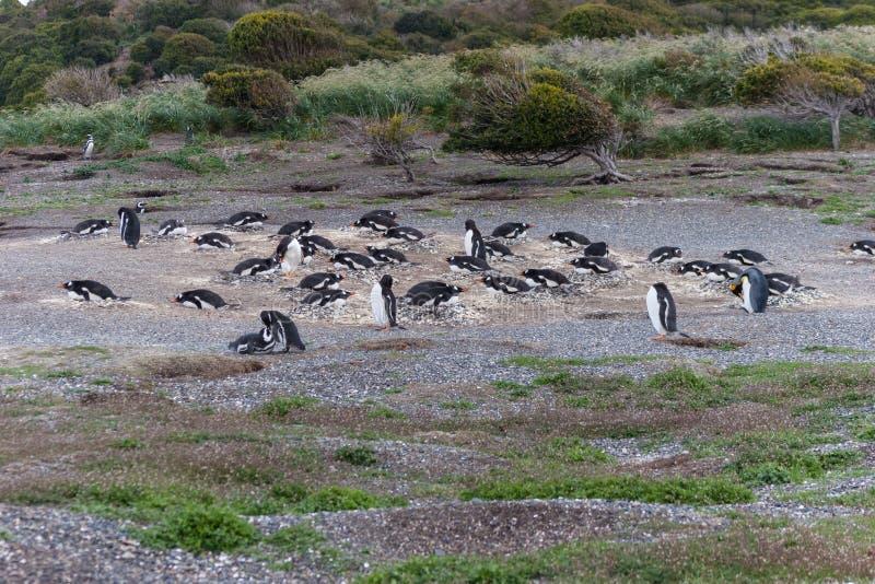 Pinguïnen in Argentinië stock afbeelding