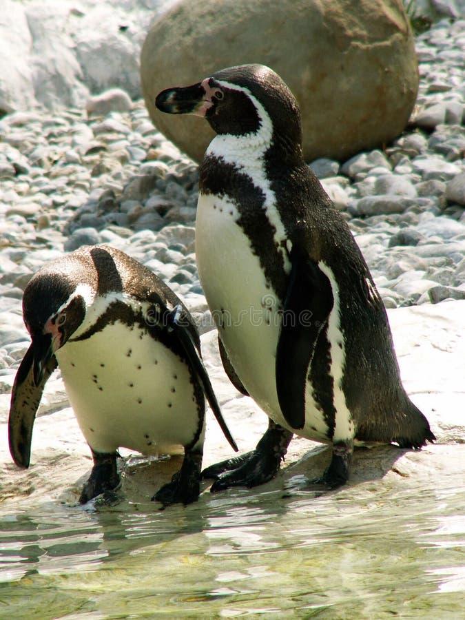 Pinguïnen in bespreking stock fotografie