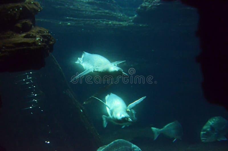 Pinguïnen die onder de rotsen duiken royalty-vrije stock foto