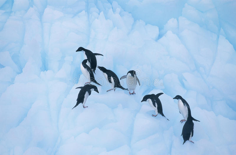 Pinguïnen die op ijs beklimmen royalty-vrije stock afbeeldingen