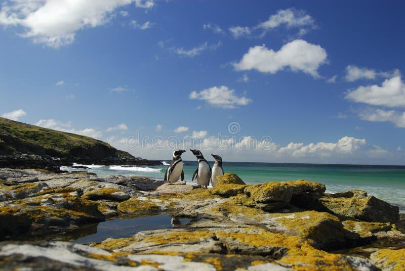 Pinguïnen in Falkland Eilanden stock foto's