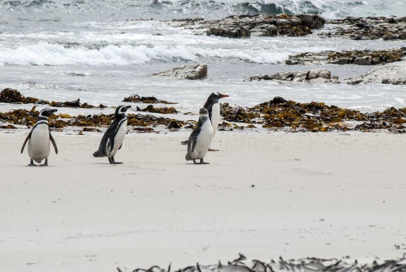 Download Pinguïnen - Het Dromen Van Magellan En Gentoo- Stock Foto - Afbeelding bestaande uit argentinië, habitat: 39115806