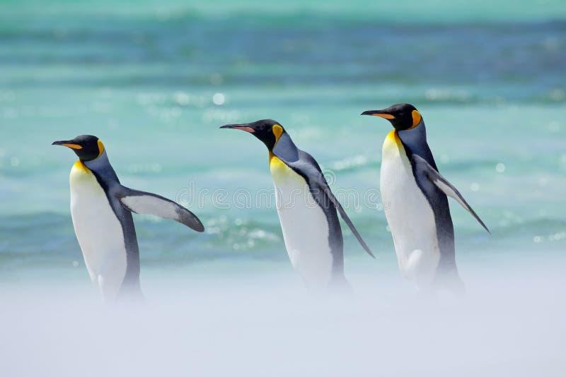 Pinguïnen in het overzees Het oceaanwild Zonnige dag met pinguïn Groep van vier Koningspinguïnen, Aptenodytes-patagonicus, het ga stock afbeeldingen