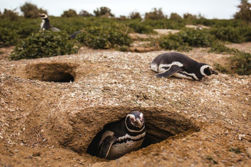 Pinguïnen in het Schiereiland DE valdes Argentinië, Magellanic-Pinguïn van Patagonië stock afbeeldingen