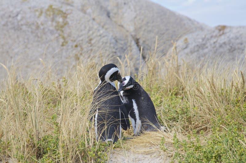 Pinguïnen in liefde stock fotografie
