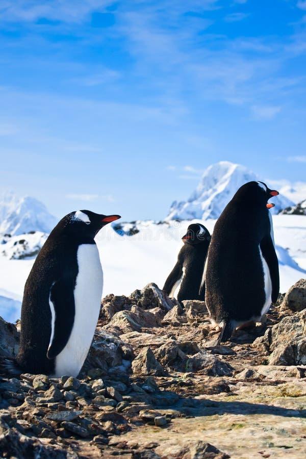 Pinguïnen op een rots royalty-vrije stock afbeeldingen