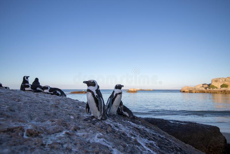 Pinguïnen op rots royalty-vrije stock fotografie