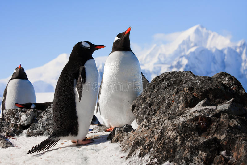 Pinguïnen op rots stock foto's