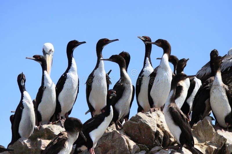 Pinguïnen op rotsen stock foto's