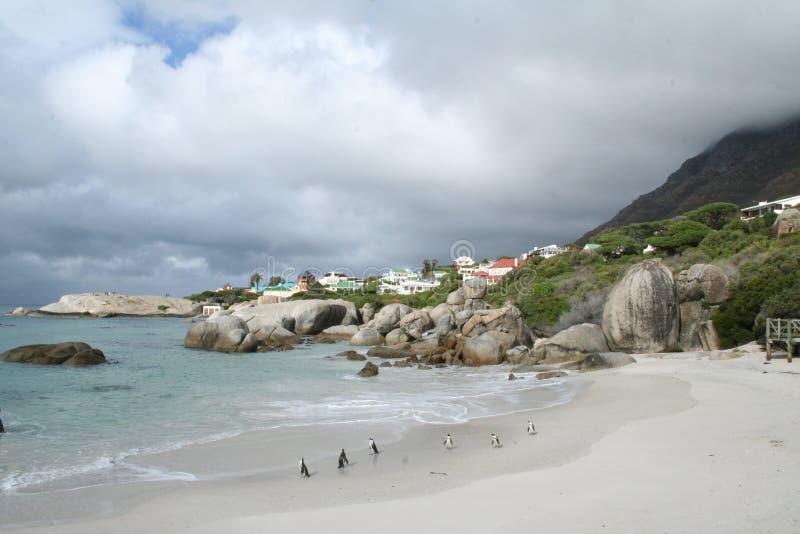 Pinguïnen in Zuid-Afrika stock afbeeldingen