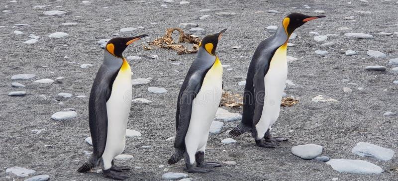 Pinguïnen Zuid-Georgië 2018 stock afbeelding