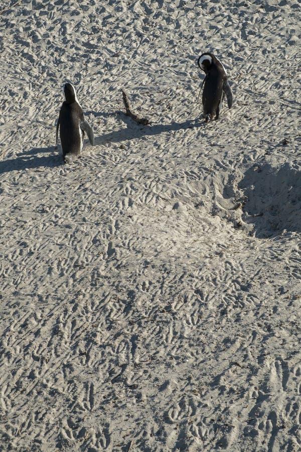Pinguïnenstrand in Kaapstad royalty-vrije stock afbeeldingen