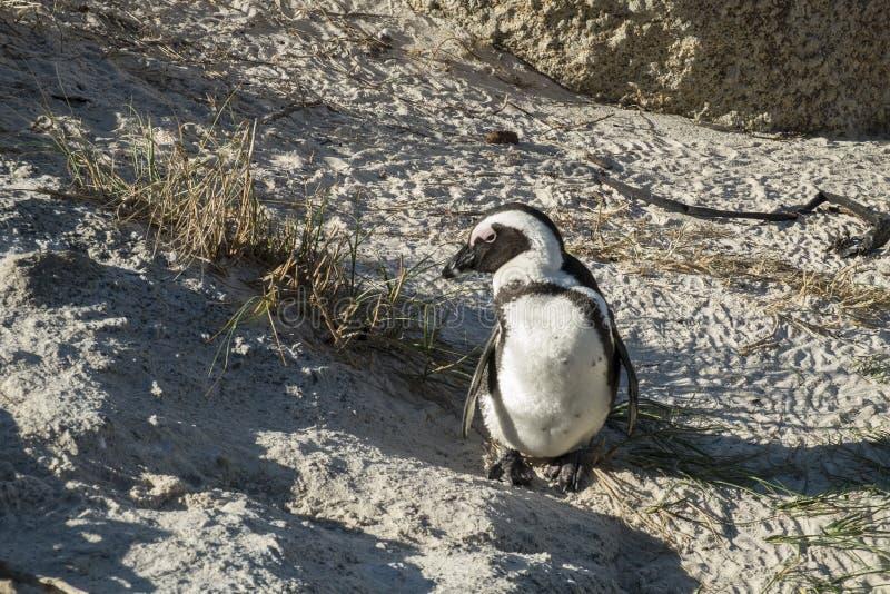 Pinguïnenstrand in Kaapstad royalty-vrije stock foto's