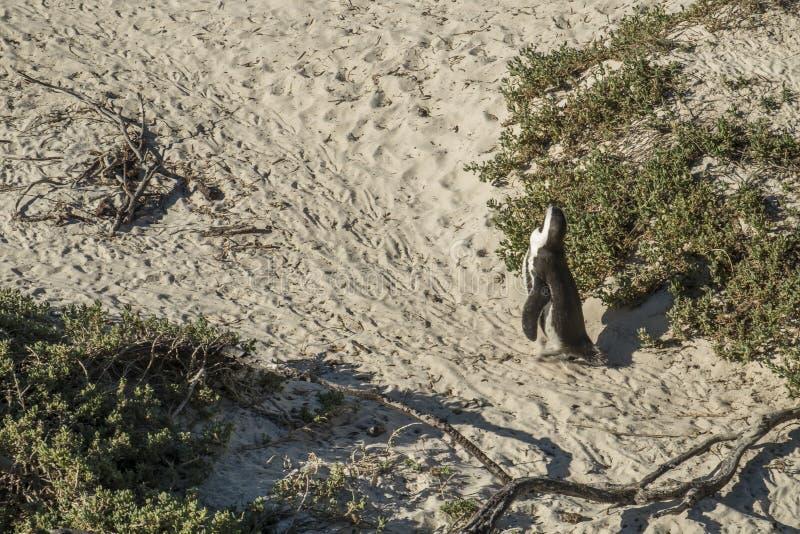 Pinguïnenstrand in Kaapstad royalty-vrije stock foto