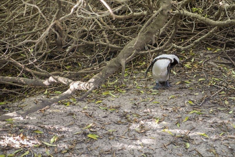 Pinguïnenstrand in Kaapstad stock afbeeldingen