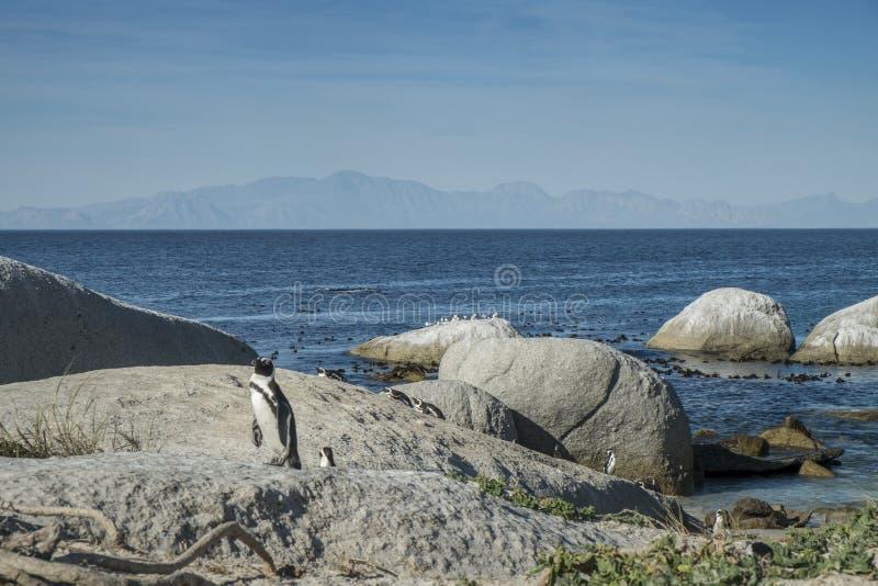 Pinguïnenstrand in Kaapstad stock foto's