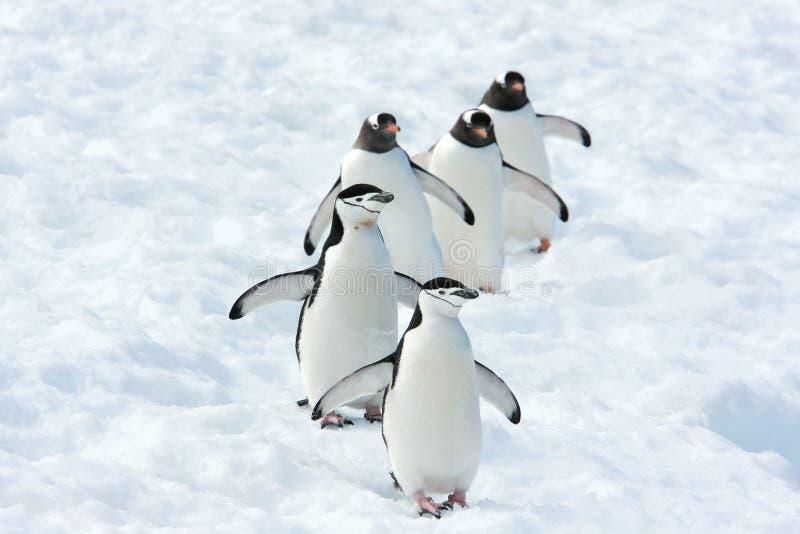 Pinguïnenteam royalty-vrije stock foto's