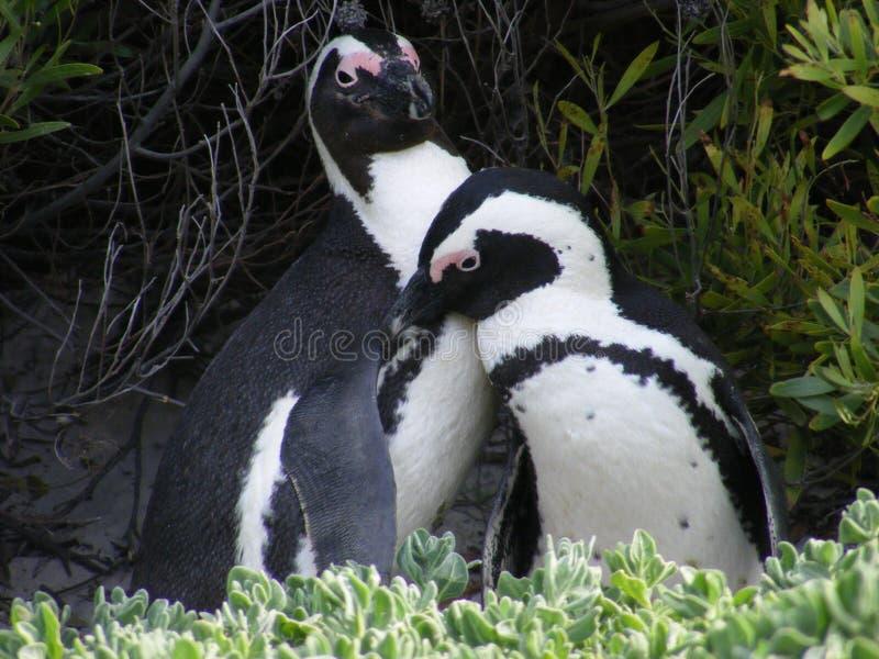 Pinguïnliefde royalty-vrije stock afbeelding