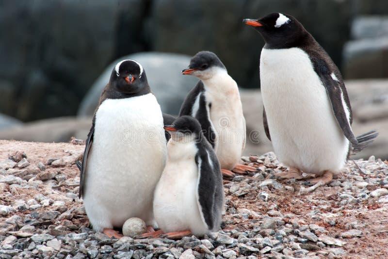 Pinguïnmoeder, kuikens en ei - gentoopinguïn stock afbeelding