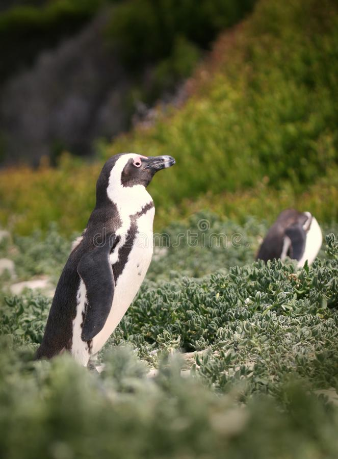 Pinguïns op het strand van Boulders stock foto's