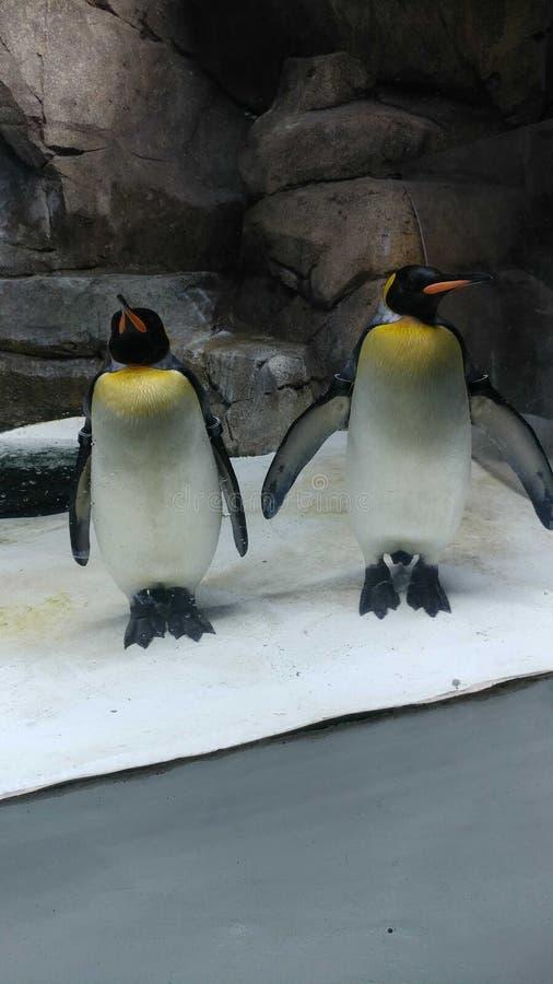 Pinguïntijd stock afbeeldingen