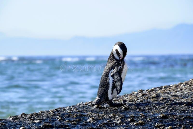Pingu?n die zich op een rots bevinden royalty-vrije stock foto