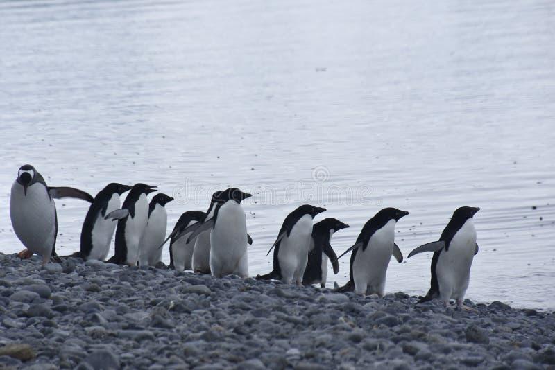 Pingu?nen in Antarctica stock foto's