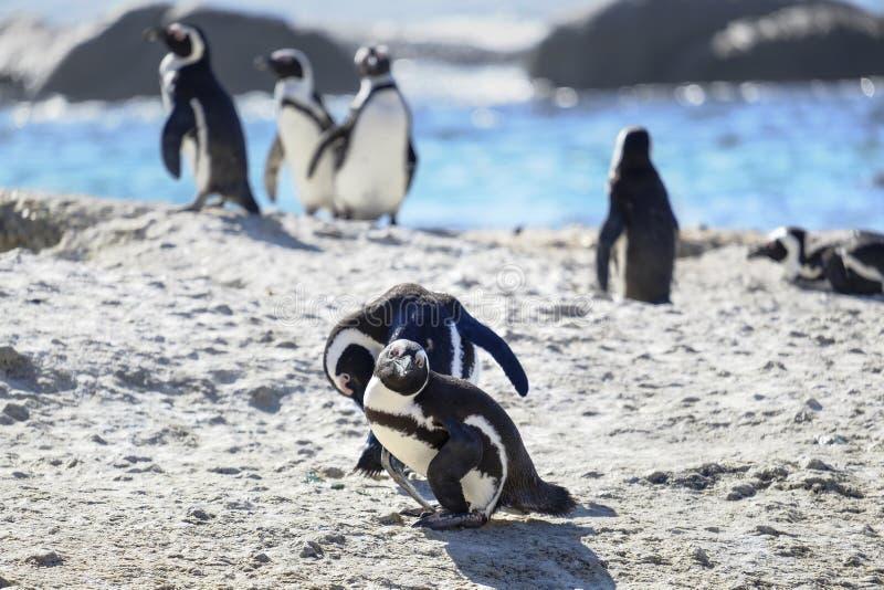 Pingu?nen bij het strand royalty-vrije stock foto's