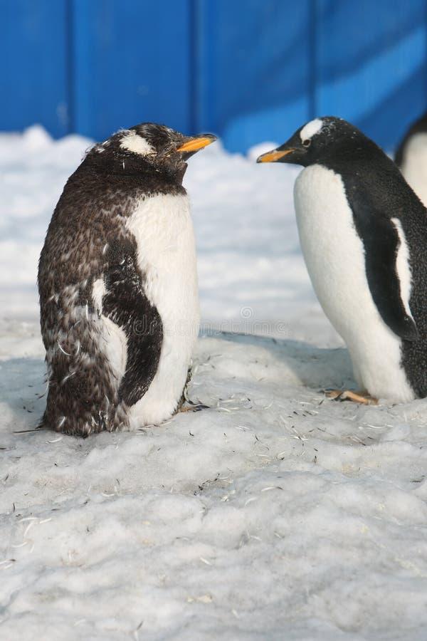 Pinguim fotos de stock