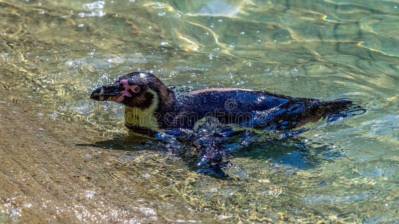 Pinguim africano fotos de stock