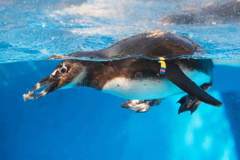 Pinguim africano foto de stock