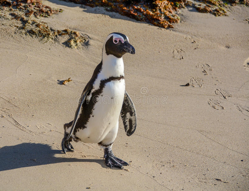Pinguim africano imagens de stock royalty free