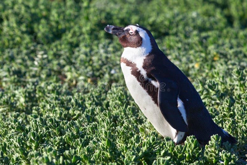 Pinguim africano do spheniscus no fundo da grama verde no fim do dia ensolarado acima, costa de África do Sul foto de stock royalty free