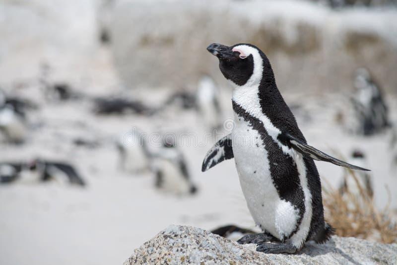 Pinguim africano na praia imagem de stock royalty free