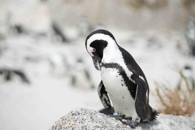 Pinguim africano na praia foto de stock royalty free