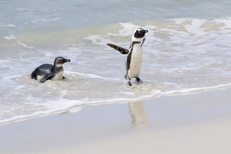 Pinguim africano que chega na praia fotografia de stock
