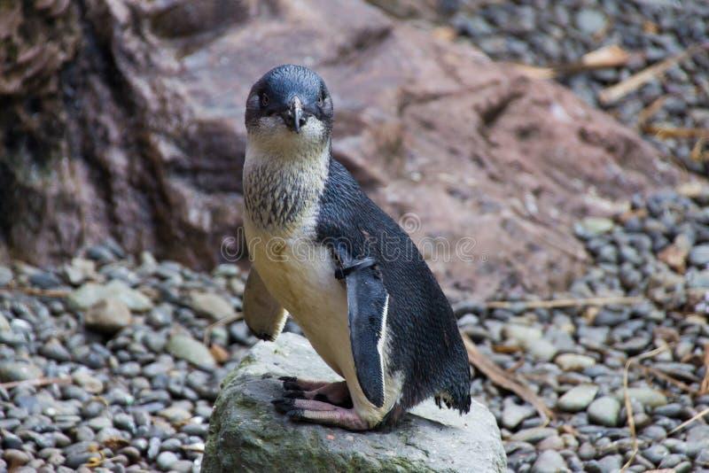 Pinguim azul Nova Zelândia imagem de stock
