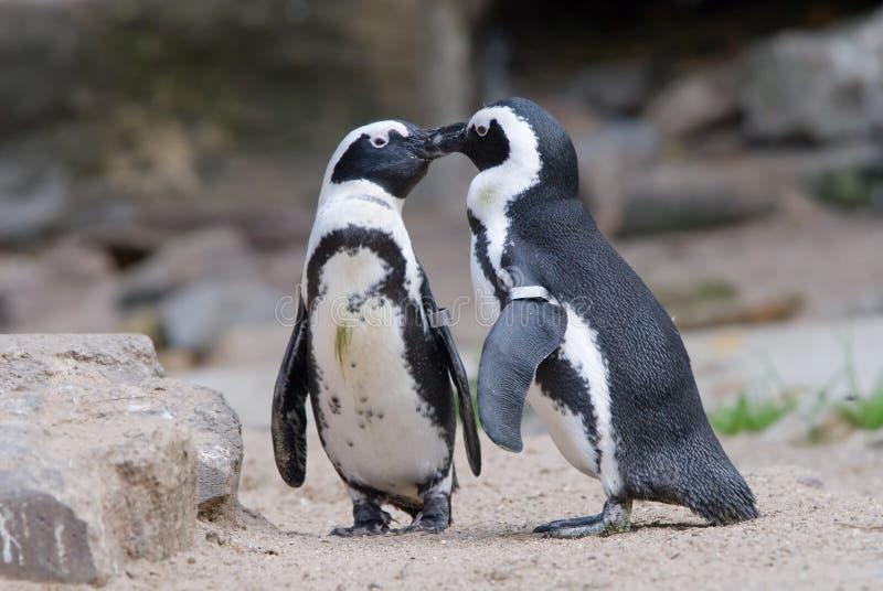 Pinguim bonito fotografia de stock