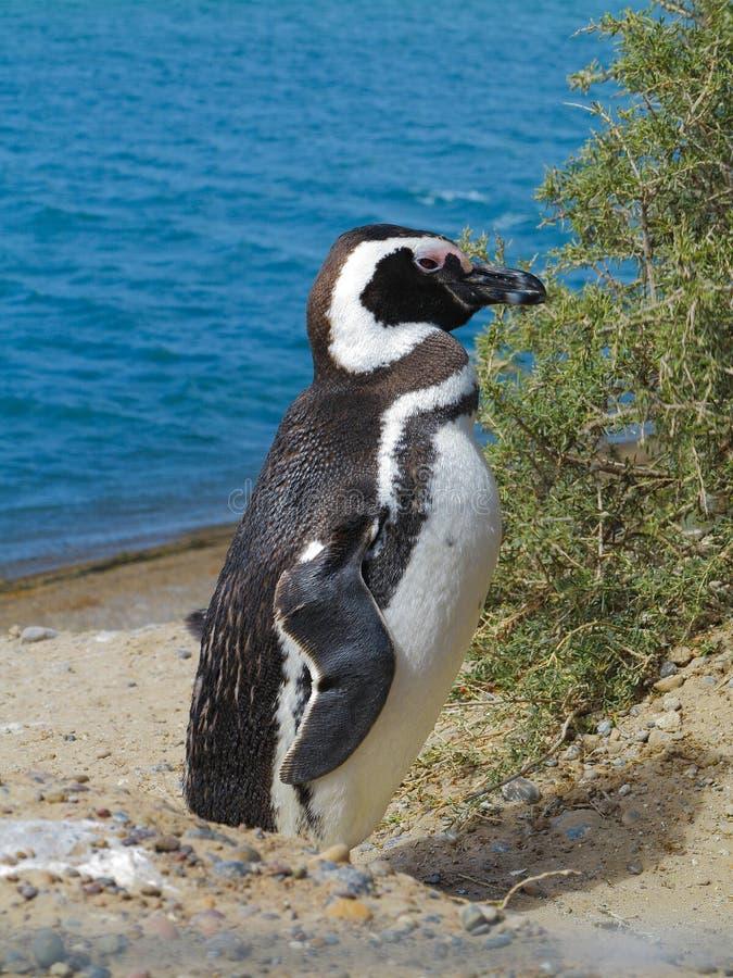 Pinguim bonito de Magellanic que está ereto perto de Bush Mar da água azul no fundo foto de stock