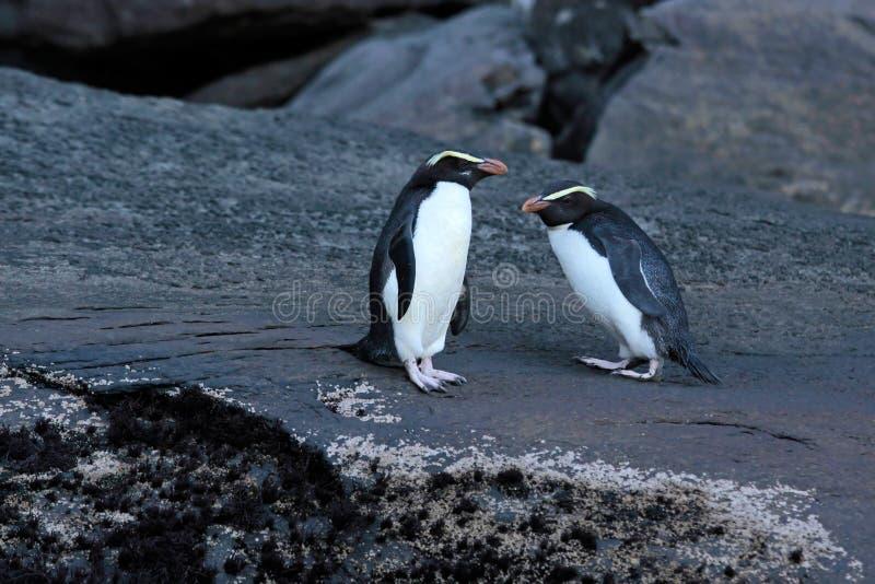 Pinguim com crista de Fiordland (pachyrhynchus do Eudyptes) imagens de stock