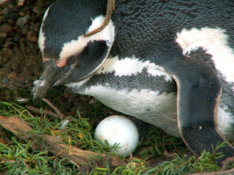 Pinguim com um ovo imagem de stock