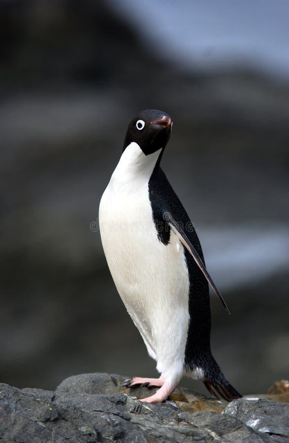 Pinguim de Adelie fotos de stock