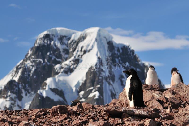 Pinguim de Adelie em Continente antárctico imagens de stock